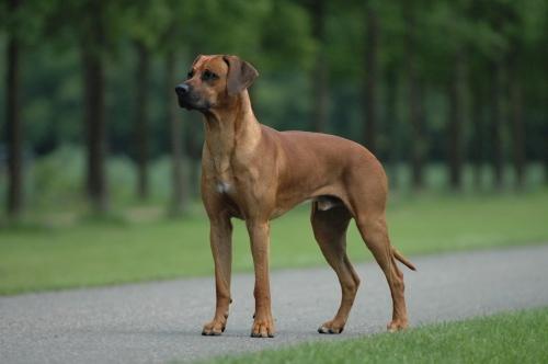 Karakter Rhodesian Ridgeback hond
